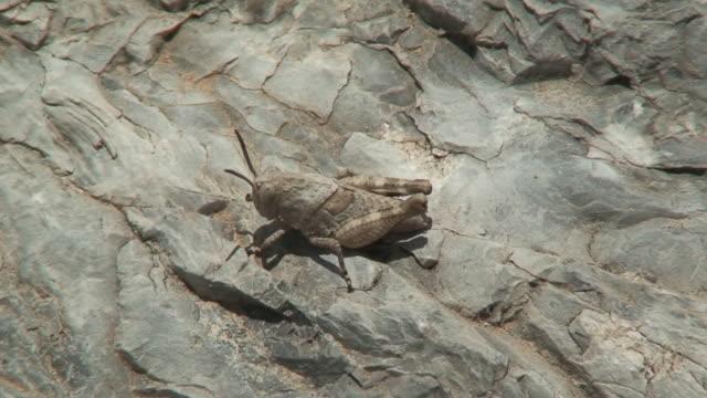 Grasshopper jump video