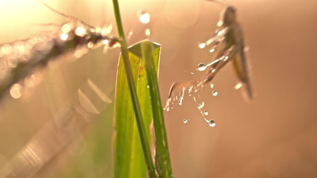 slo mo grasshopper jumping off a plant of wheat - insetto video stock e b–roll