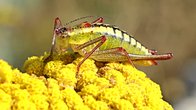 Grasshopper landed on yellow spring flower on the mountain hills. video