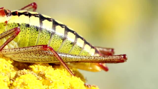heuschrecke landeten auf gelb frühling blumen auf dem berg hügel. - feldheuschrecken stock-videos und b-roll-filmmaterial