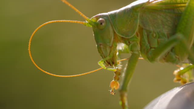 Grasshopper locust cleaning its antennas on metal rod close up macro shot in slow motion