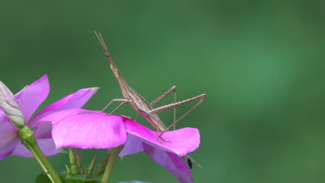 Grasshopper on a flower video