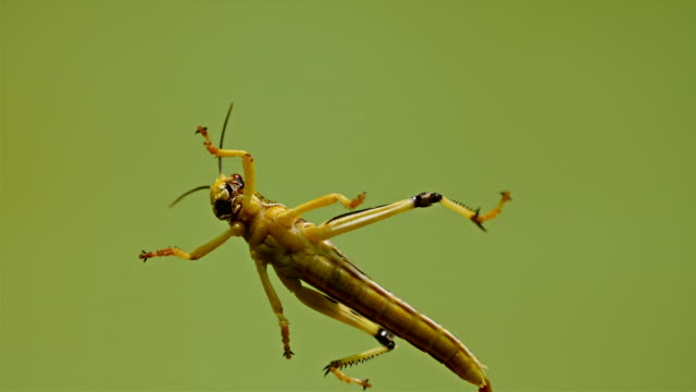 A grasshopper on a water swimming video