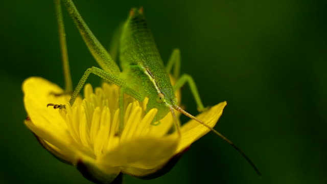 Grasshopper on a yellow flower video
