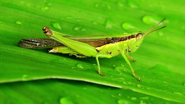 Grasshopper on banana leaf video