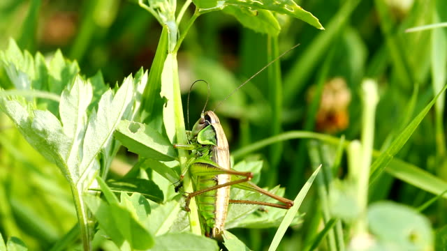 Grasshopper on blade of grass video