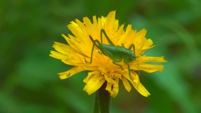 Grasshopper on dandelion video