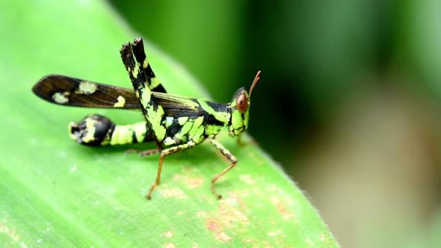 heuschrecke auf green leaf - feldheuschrecken stock-videos und b-roll-filmmaterial