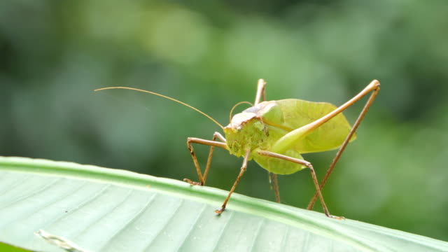 grasshopper auf blatt im tropischen regenwald. - grashüpfer stock-videos und b-roll-filmmaterial