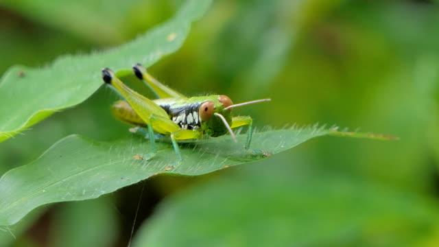 heuschrecke auf blättern im tropischen regenwald. - grashüpfer stock-videos und b-roll-filmmaterial