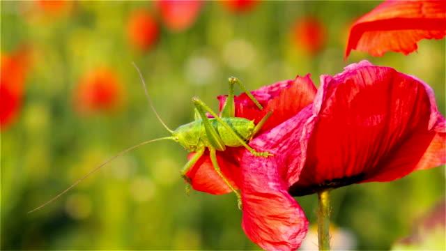 Grasshopper on poppies
