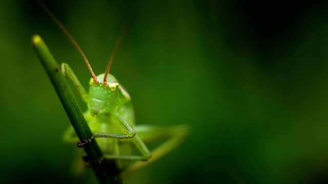 Grasshopper on the Blade Grass in Spring from Close Range video
