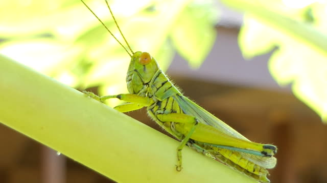 Grasshopper on the leaf video