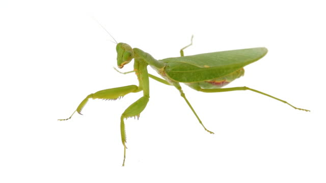 Grasshopper on white background video