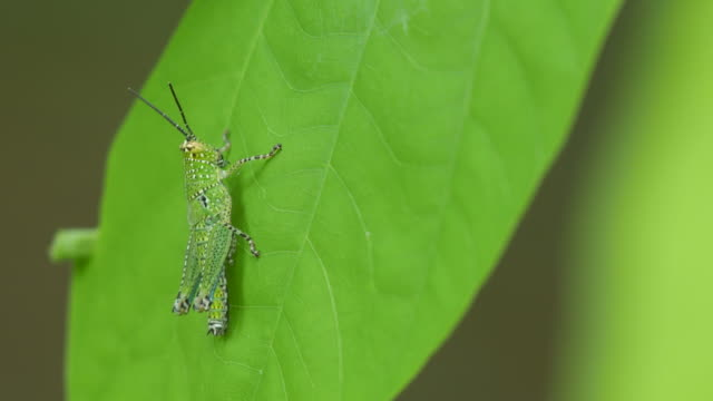 grasshopper resting on the leaf video