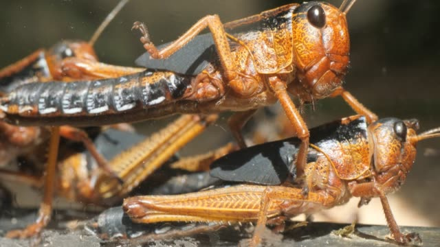 Grasshopper trying to mate video