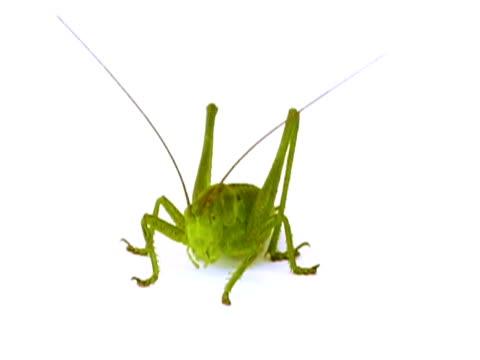 NTSC: Grasshopper video