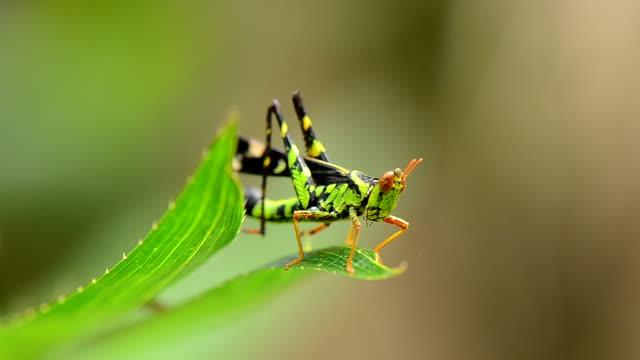 Grasshopper. video
