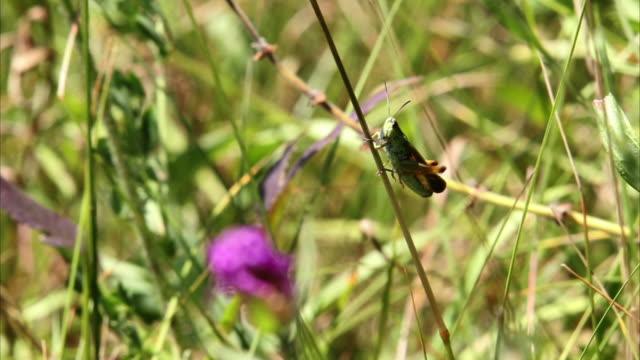 Grasshopper walking moonwalker HD video