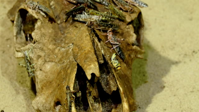 Grasshoppers flock on the rooten wood or skull video