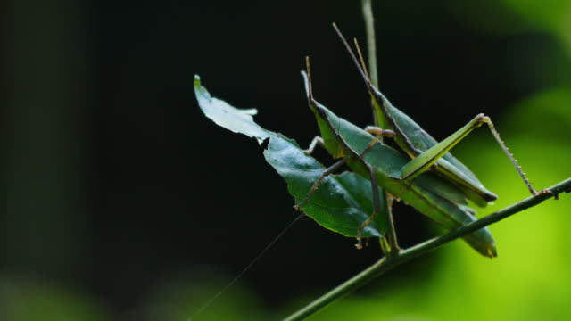 Grasshoppers matching on branches. video