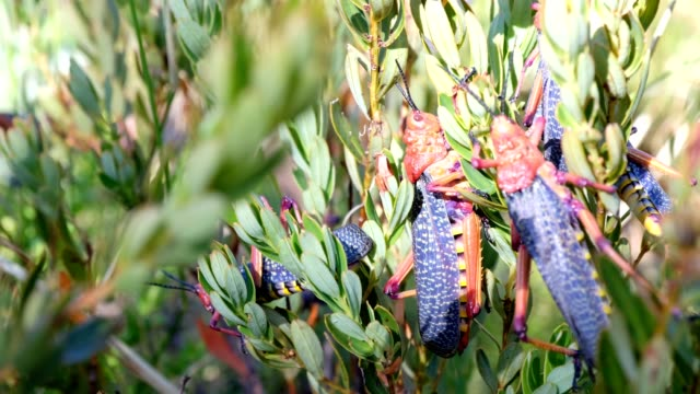 heuschrecken auf einer pflanze - grashüpfer stock-videos und b-roll-filmmaterial