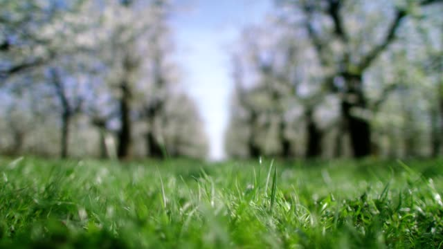 Grassy path in orchard. Blooming cherry trees. Springtime Tree branches covered with white flowers. Springtime grass area stock videos & royalty-free footage