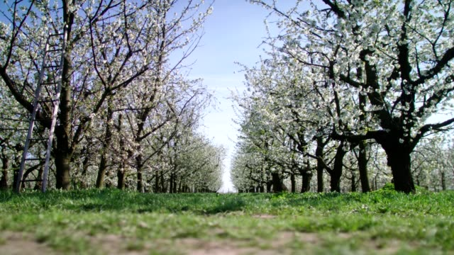 grassy path in orchard. blooming cherry trees. springtime - colore ciliegia video stock e b–roll