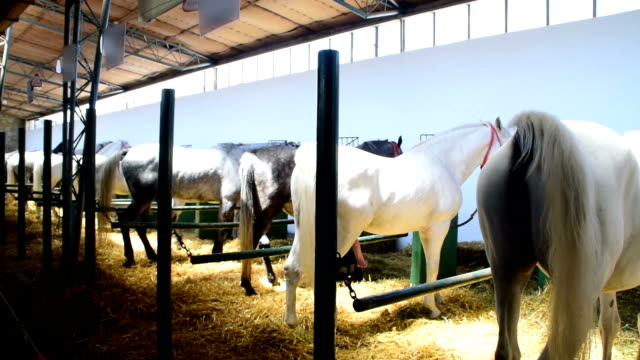 Gray and white horse grazing in a barn straw Gray and white horse grazing in a barn straw mare stock videos & royalty-free footage
