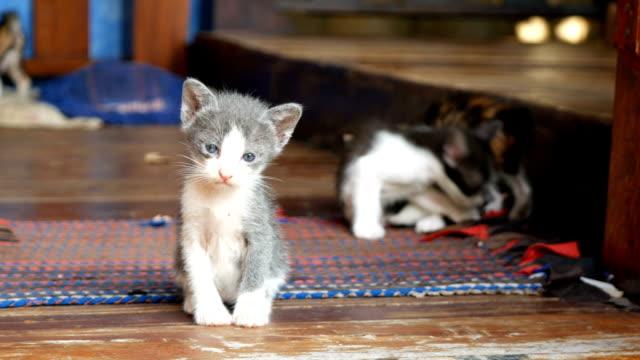gray and white kitten cat siitting on wooden floor - kociak filmów i materiałów b-roll
