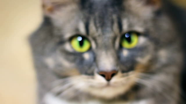 Gray cat close up with big green eyes looks at the camera video