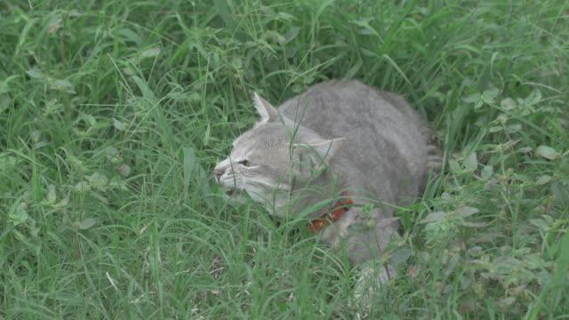 серый кот grass. (4k) питание - кошка смешанной породы стоковые видео и кадры b-roll