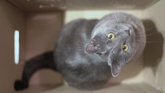 Gray cat excited during a game in cardboard box looking up top view.