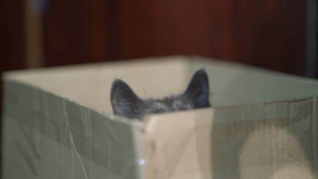 Gray cat hiding in a cardboard box. Predatory behavior of cat