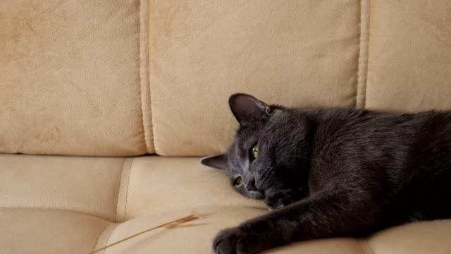 graue katze faul spielt mit einem spikelet, während auf dem sofa liegen - faul ast stock-videos und b-roll-filmmaterial