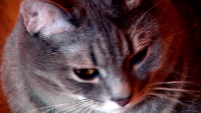 vídeos y material grabado en eventos de stock de gris gato mirando -cu - vibrisas