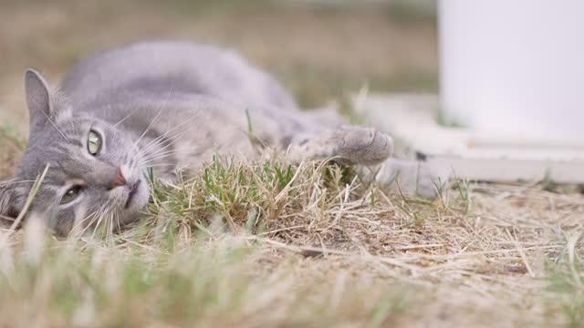 vídeos de stock, filmes e b-roll de gato cinza deitado na grama - felino