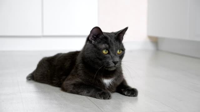 graue katze, die auf dem boden liegt, überwacht die bewegung des spikelets - faul ast stock-videos und b-roll-filmmaterial