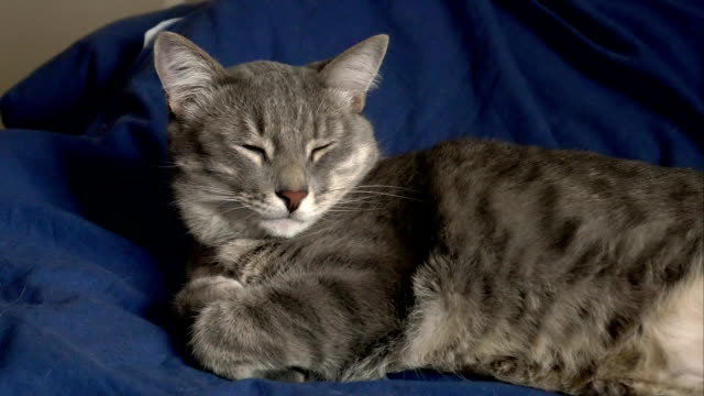gray cat sleeps in a bed FullHD grey cat sleeps in a bed shorthair cat stock videos & royalty-free footage