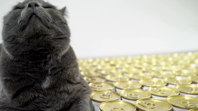vídeos de stock e filmes b-roll de gray fat cat lying near cans with food for cats. wet canned food. - lata comida gato