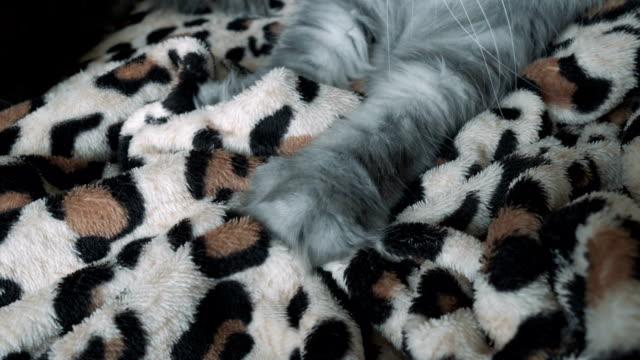 gray fluffy cat resting on the bed - кошка смешанной породы стоковые видео и кадры b-roll