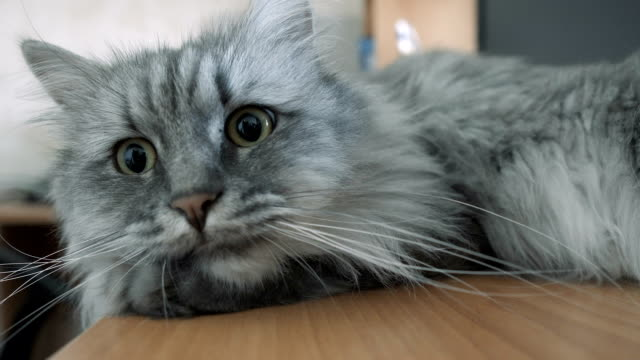 gray fluffy cat resting on the table - кошка смешанной породы стоковые видео и кадры b-roll