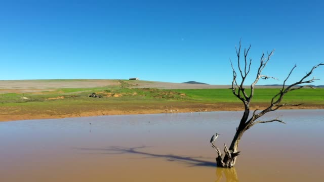 Gray heron enjoys the tranquility of a farm dam