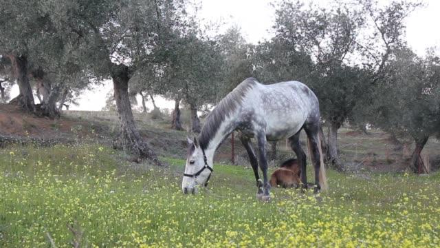 Gray horse grazing video