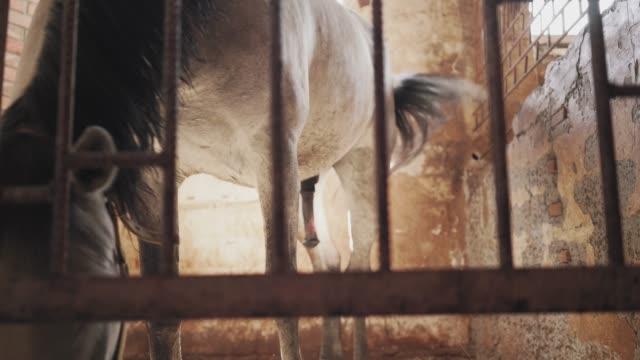 gri bir at bir ahırda duruyor. - penis stok videoları ve detay görüntü çekimi