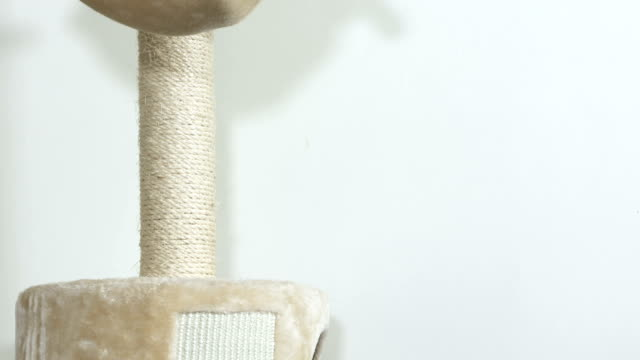 Gray house cat washing itself in a hammock bed at top of scratching post video