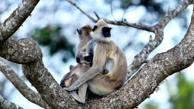 Gray Langur: 4K Sri Lanka travel concepts 4K sri lanka stock videos & royalty-free footage