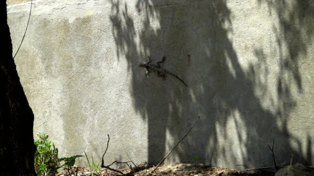 Gray lizard, sitting on a concrete wall video