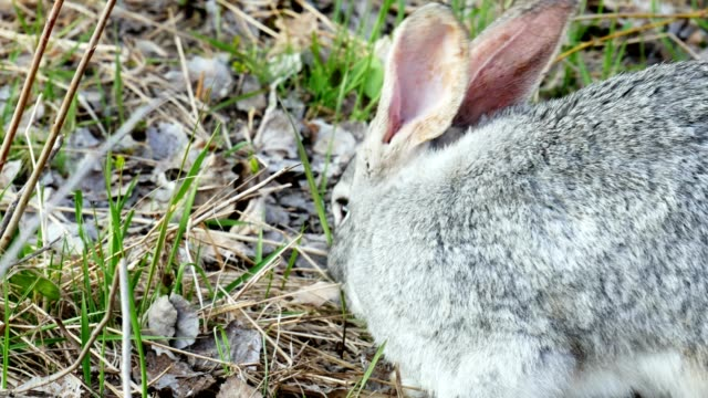 Gray rabbit eats grass in the pasture