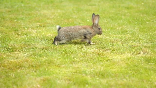 yeşil çimenlerin üzerinde gri tavşan - tavşan hayvan stok videoları ve detay görüntü çekimi